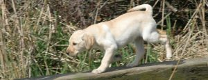 Sonnenende Labrador